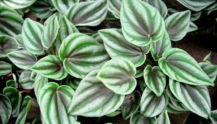 Пеперомия туполистная: уход за растением в домашних условиях