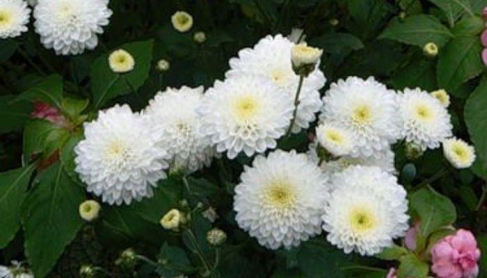 Корейская (Chrysanthemum koreanum)