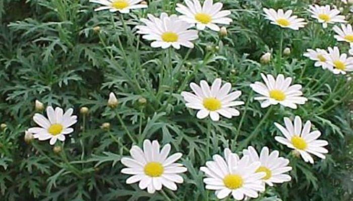 Кустарниковая (Chrysanthemum frutescens)