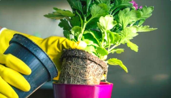 Пересадка и уход за домашними хризантемами в горшках