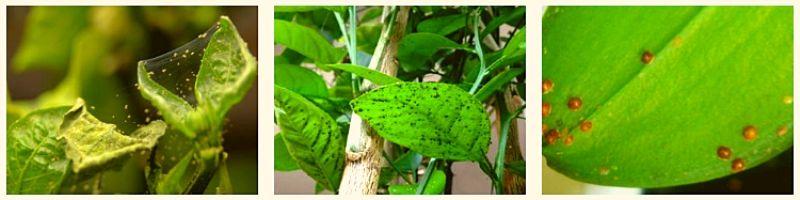Вредители лимонного дерева