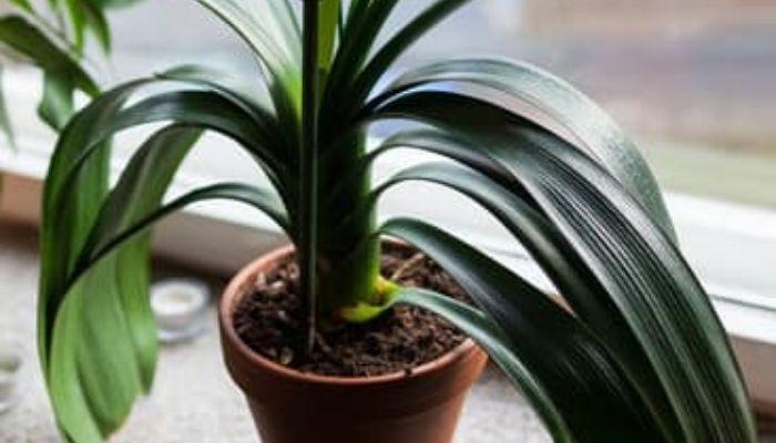 Комнатный цветок Кливия: как ухаживать, чтобы зацвела