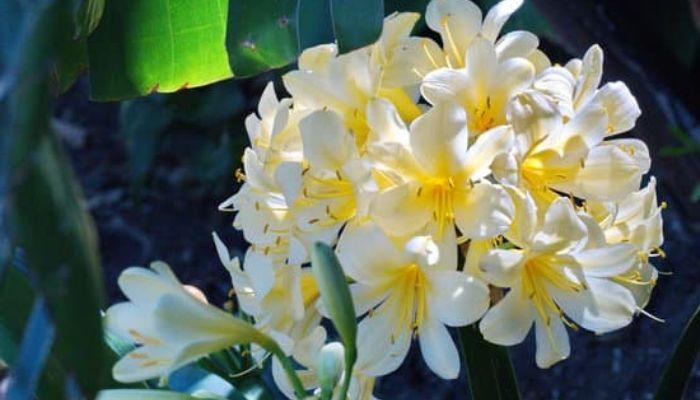 Кливия с белыми цветками