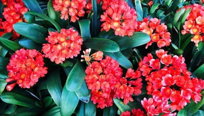 Кливия с красными цветками