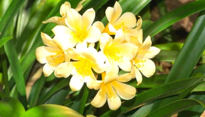 Кливия с желтыми цветками