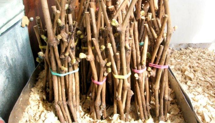 Хранение чубуков винограда