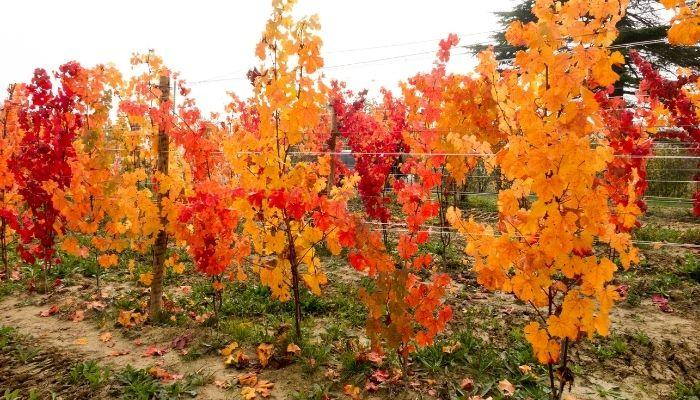 Осенняя заготовка черенков винограда