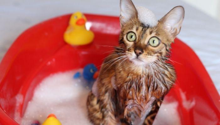 Нужно правильно купать кота в первый раз
