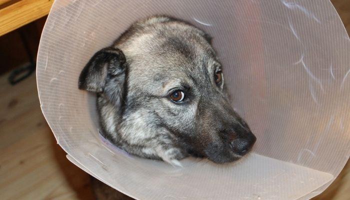 Лечение ушей у собак