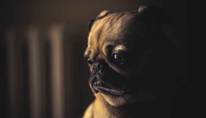 Как понять что у собаки болят уши