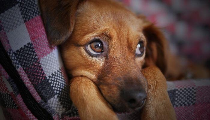 У собаки болит ухо