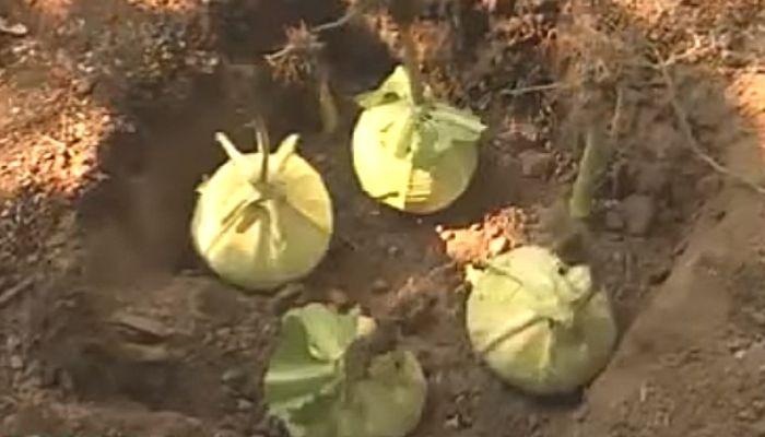 Закапывание капусты на зиму