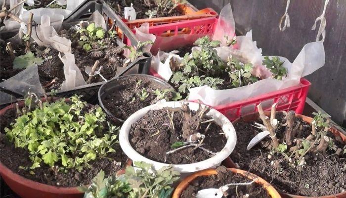 Хризантемы на зиму уход